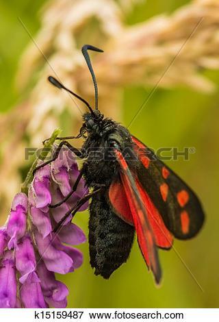 Picture of Six spot burnet moth, Zygaena filip k15159487.