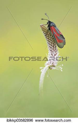 "Stock Images of ""Transparent Burnet (Zygaena purpuralis), Usti nad."