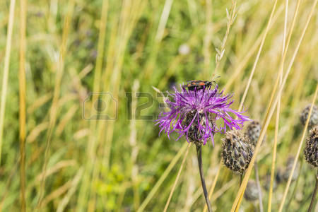 Greater Knapweed Stock Photos Images, Royalty Free Greater.