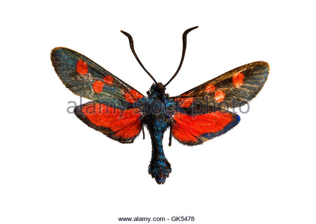 Zygaena Cut Out Stock Images & Pictures.