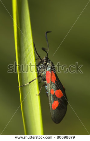 Zygaena viciae Stock Photos, Images, & Pictures.