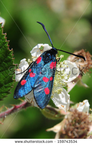 Zygaena Stock Photos, Images, & Pictures.