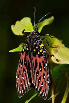 Male Scarlet Phaudid Moth (Phauda mimica, Phaudinae, Zygaenidae.