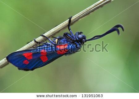 Zygaenidae Stock fotos, billeder til fri afbenyttelse og vektorer.