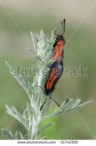 Zygaenidae moth Stock Photos, Images, & Pictures.