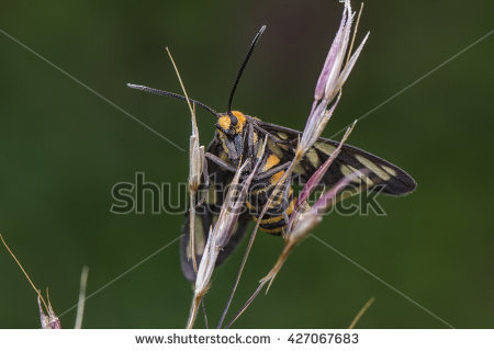 Zygaenidae Stock Photos, Royalty.