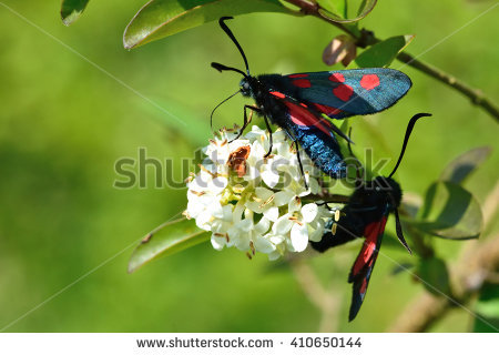 Zygaena Stock Photos, Royalty.