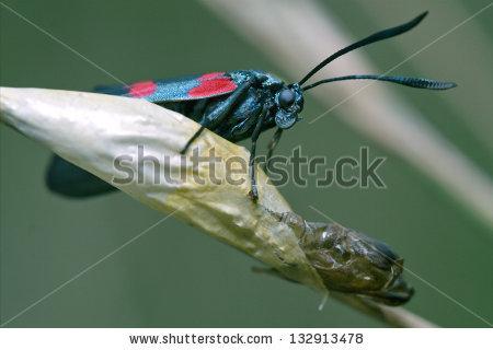 Zygaenidae Stockfoto's, afbeeldingen & plaatjes.