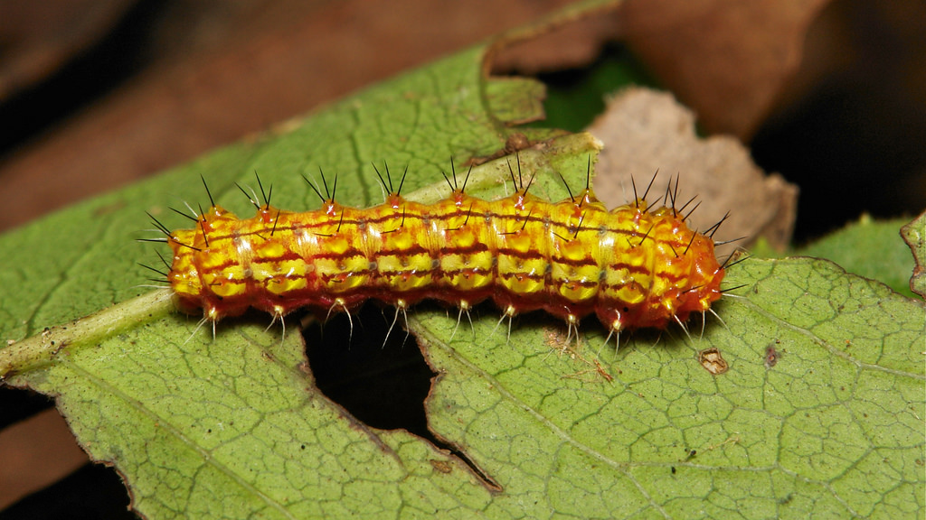UNKNOWN Caterpillar EDIT: Zygaenid Moth Caterpillar (Rhodo….