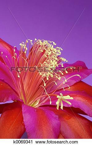 Stock Photography of Zygo Cactus Flower k0069341.
