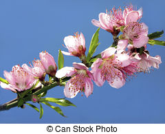 Stock Photography of Three Beautiful Peach Colored Blooms of the.