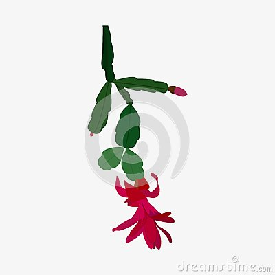 Schlumbergera Flower Chirstmas Cactus Stock Illustrations.