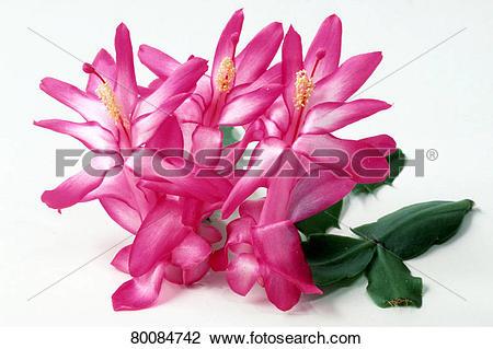 Stock Photo of DEU, 2004: Christmas Cactus (Zygocactus spec.