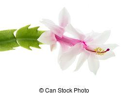 Stock Photography of Zygocactus.