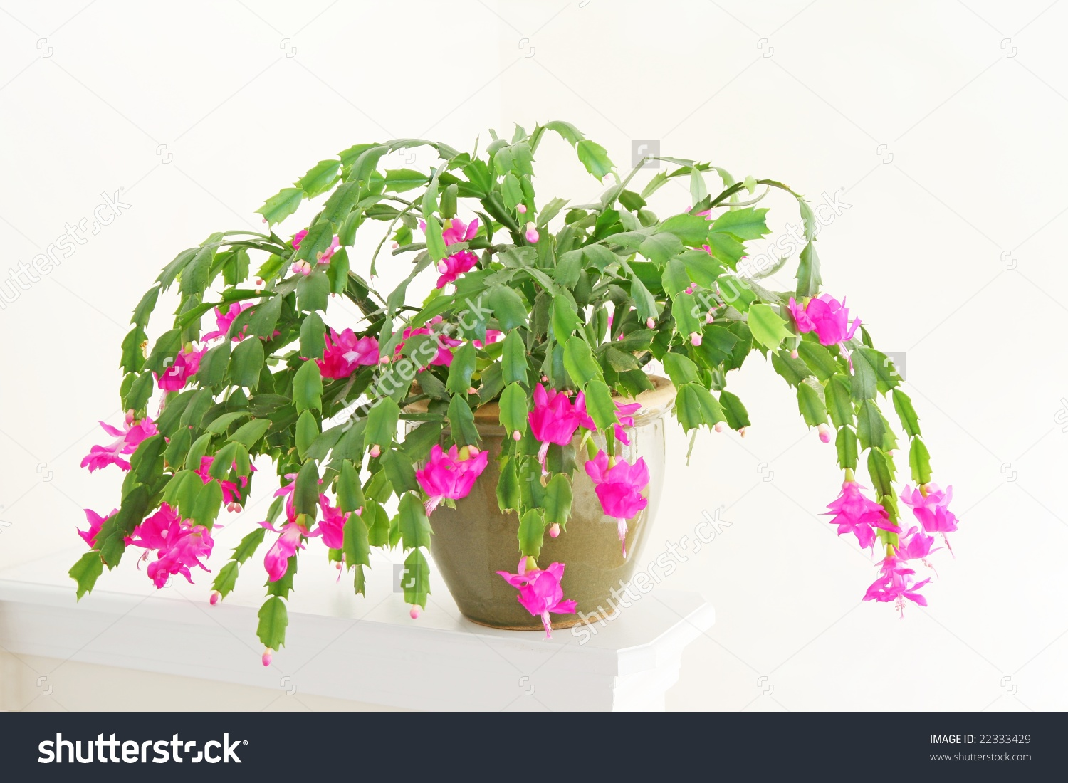 Christmas Cactus Zygocactus Truncatus Flowering Pot Stock Photo.