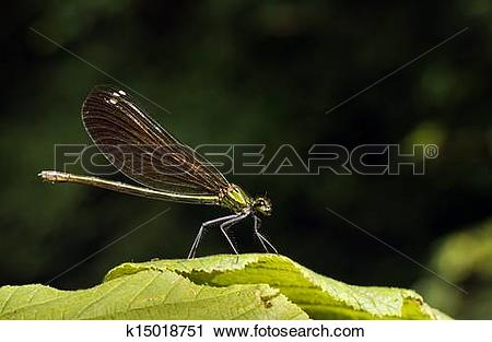 Stock Photography of Green damselfly at rest.