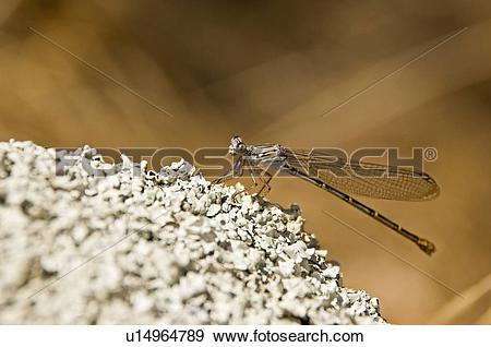 Stock Photograph of A damselfly (Zygoptera) u14964789.