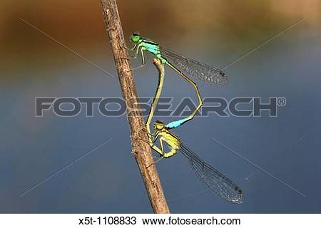 Stock Photo of Mating Damselflies Zygoptera x5t.