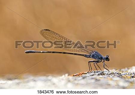 Stock Images of A damselfly (Zygoptera) perched on a boulder.