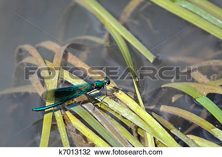 Stock Photo of Damselfly (Zygoptera) resting on reeds in the River.