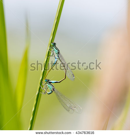 Zygoptera Stock Photos, Royalty.