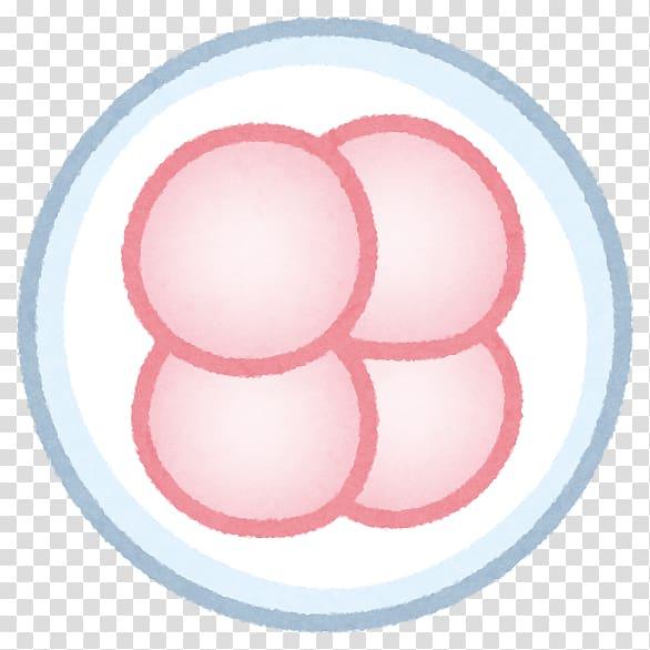 Zygote Fertilisation Blastocyst Transvaginal oocyte.